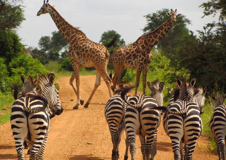 zebras-765885_1280